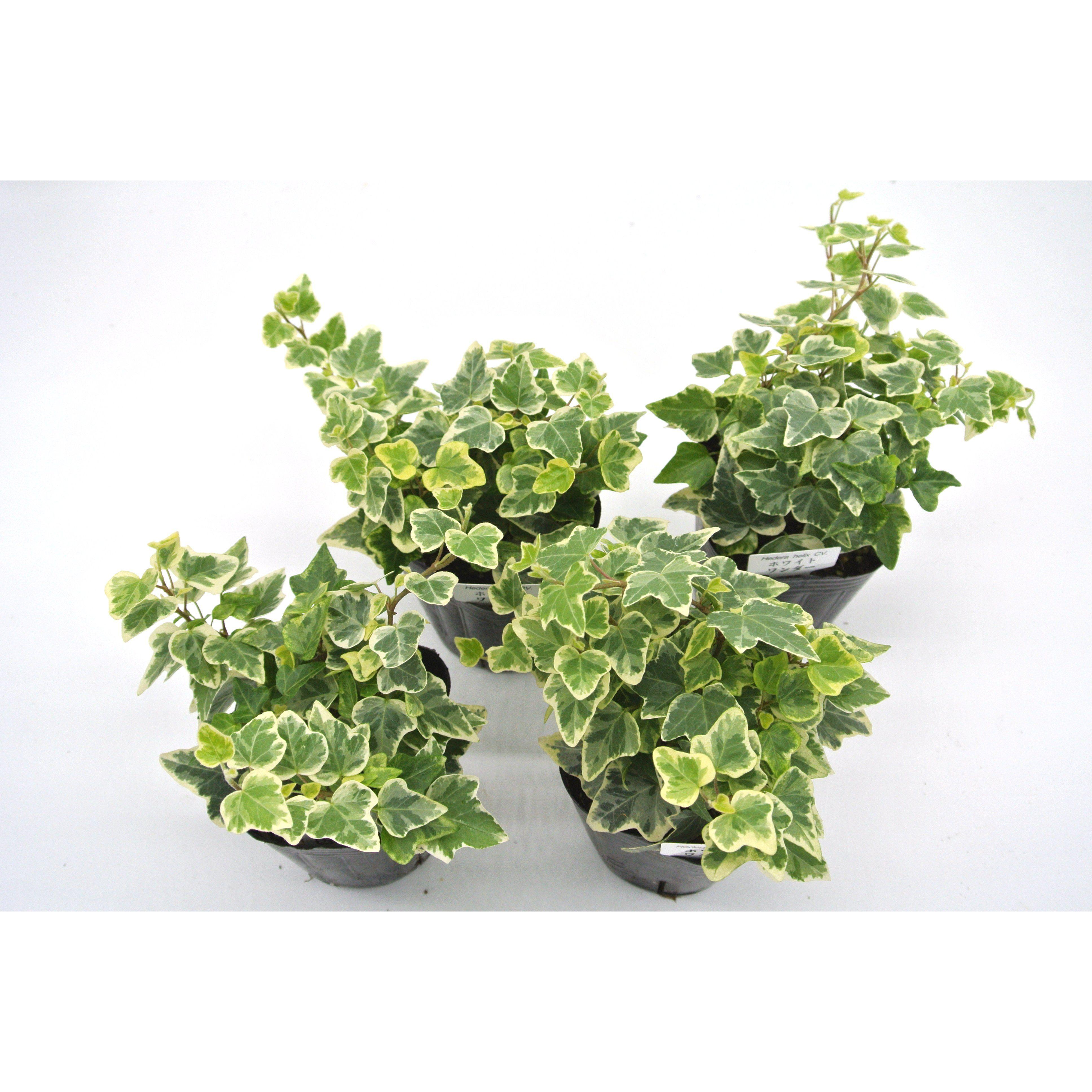 観葉植物 ヘデラ へリックス ホワイトワンダー 3号育成ポット 4ポット - 1