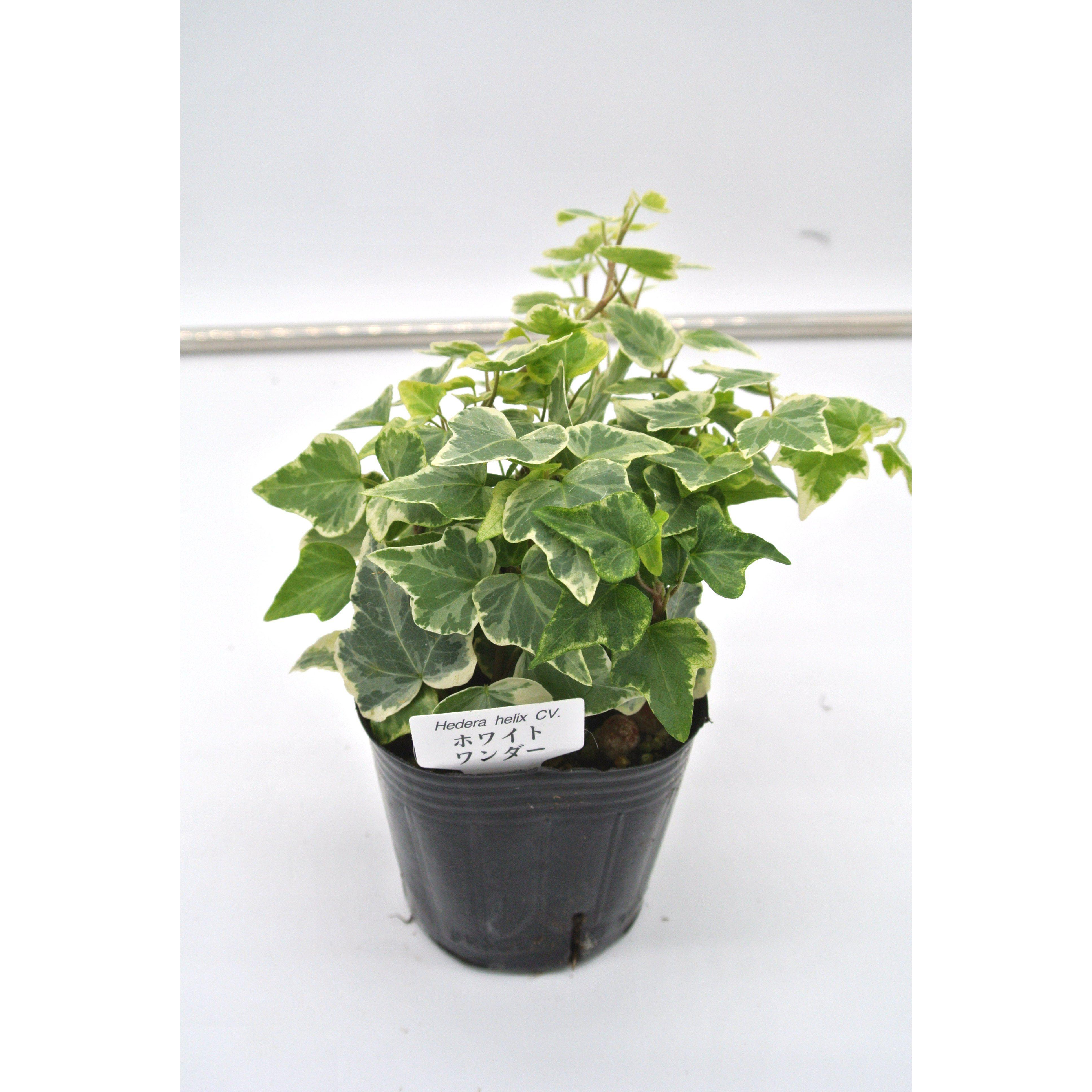 観葉植物 ヘデラ へリックス ホワイトワンダー 3号育成ポット 4ポット - 2