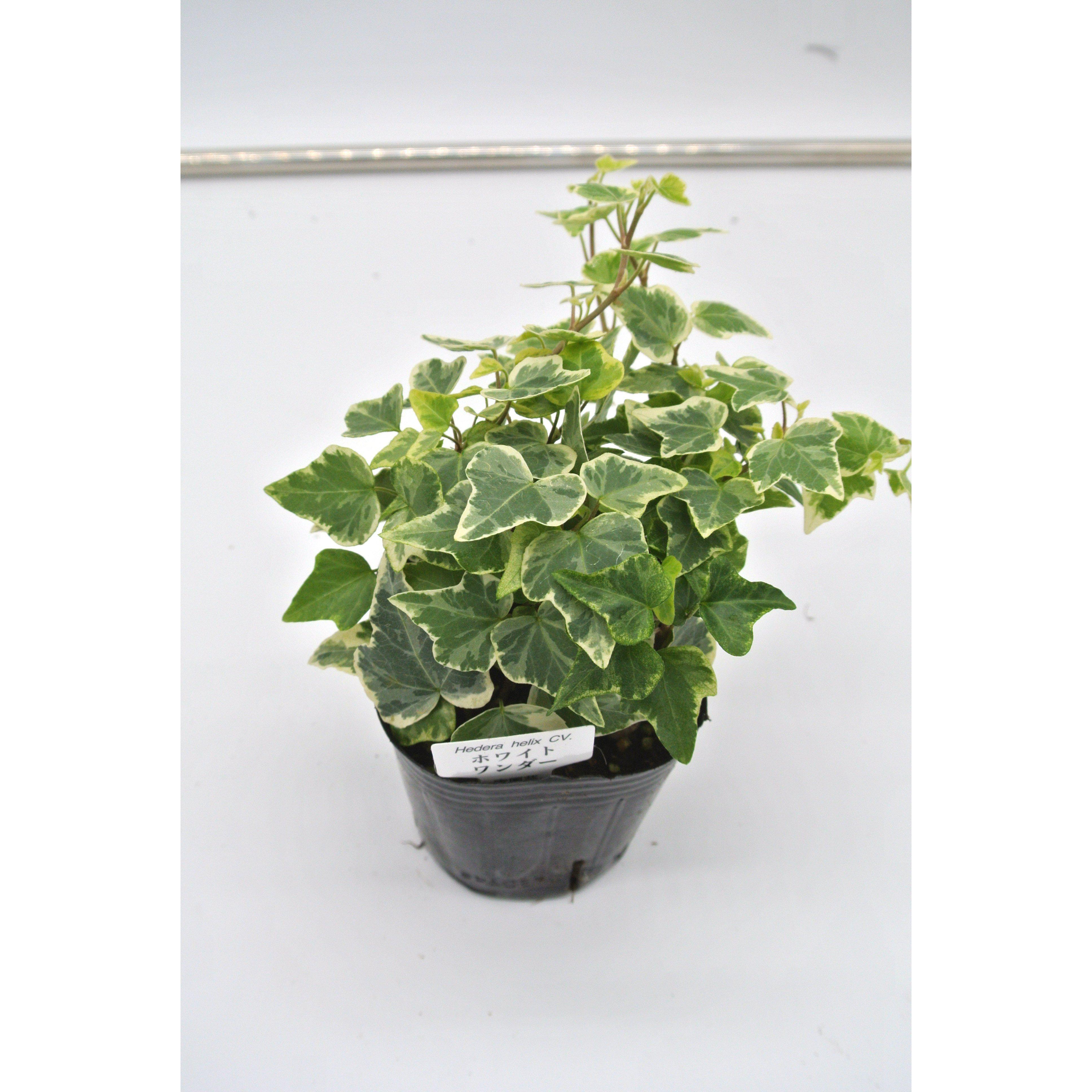 観葉植物 ヘデラ へリックス ホワイトワンダー 3号育成ポット 4ポット - 3