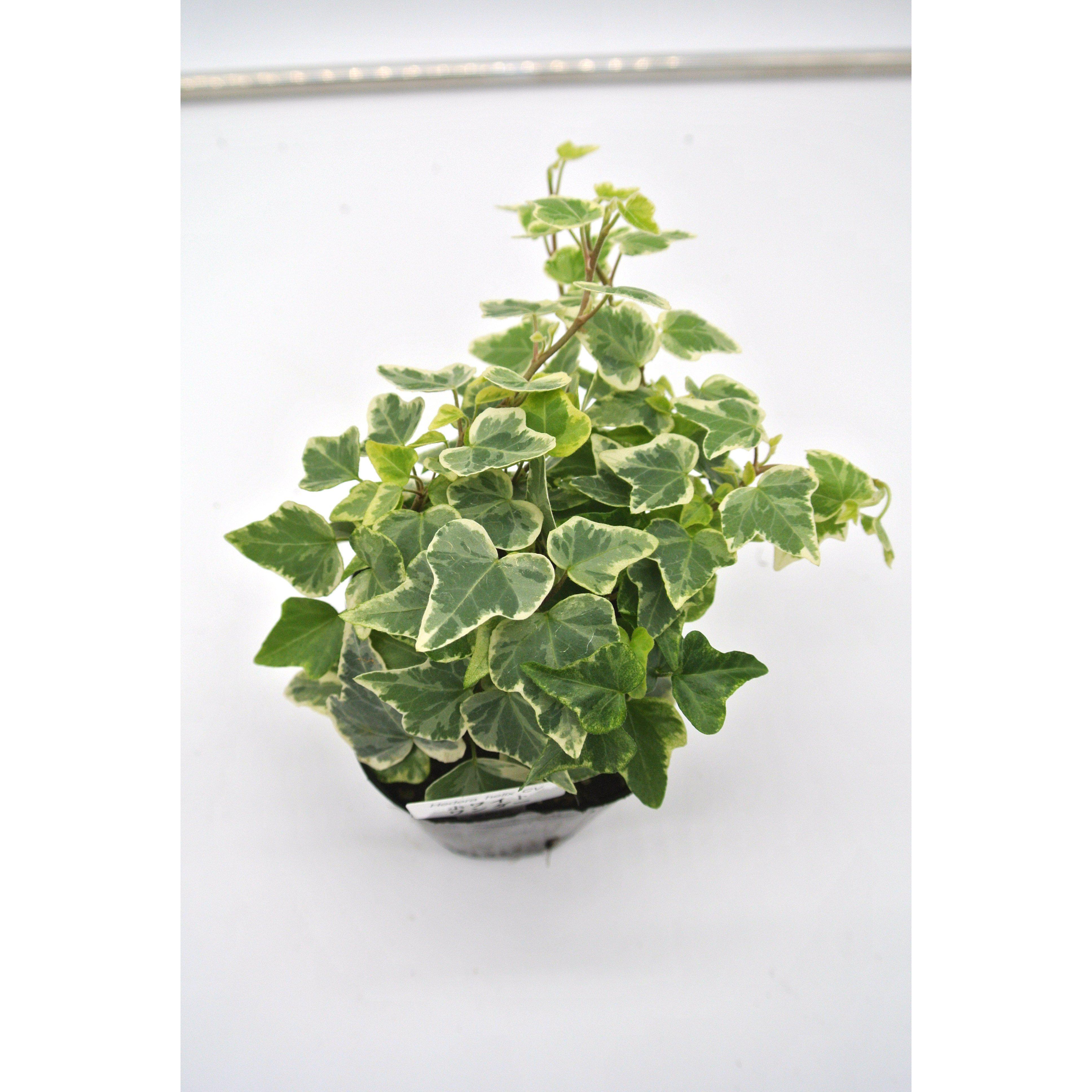 観葉植物 ヘデラ へリックス ホワイトワンダー 3号育成ポット 4ポット - 4