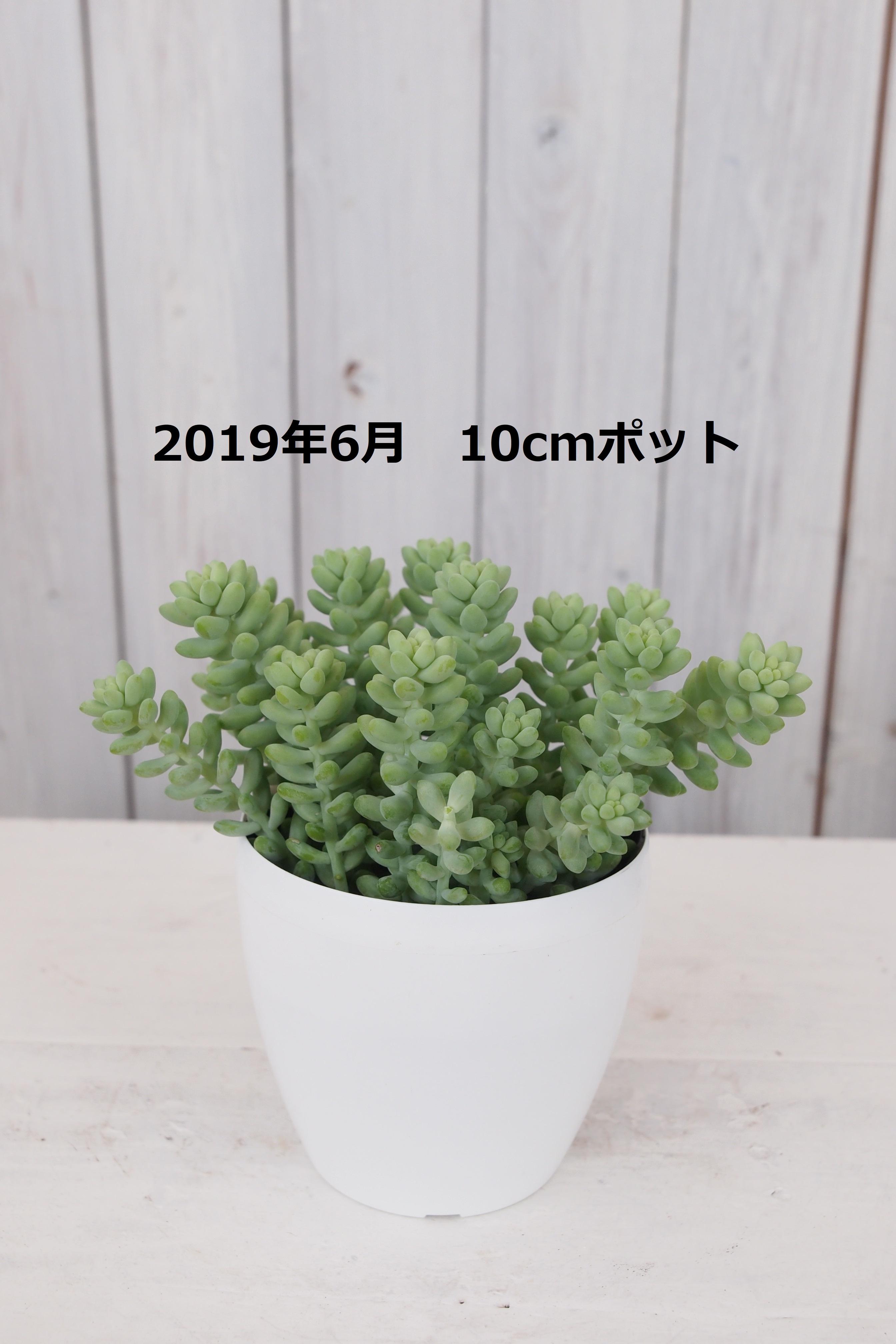 おばけセダム1鉢【現品限り】 - 4