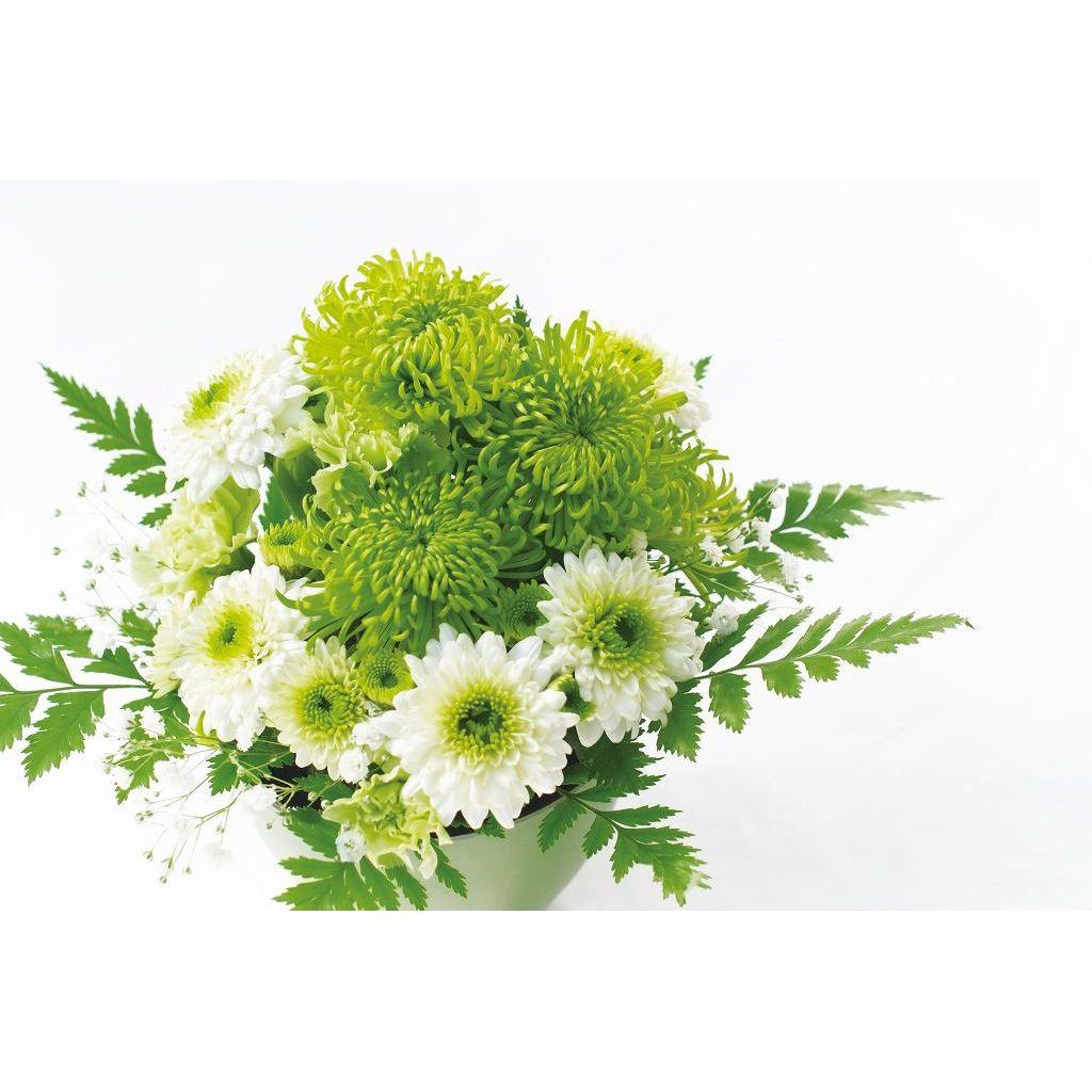 長持ちアレンジ菊 さわやか 苗2種4株 - 1