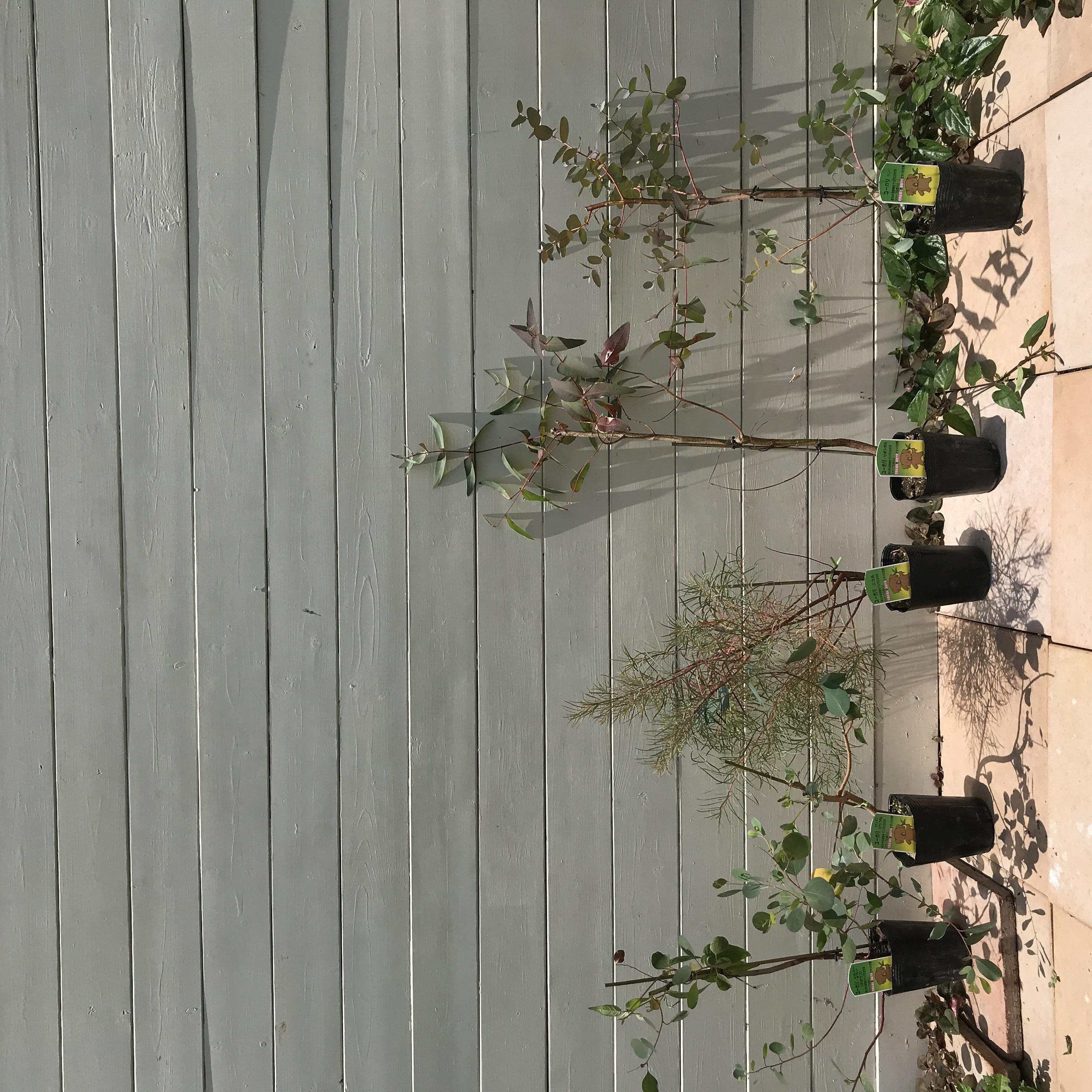 選べる!ユーカリ 苗木 品種 2株 - 2