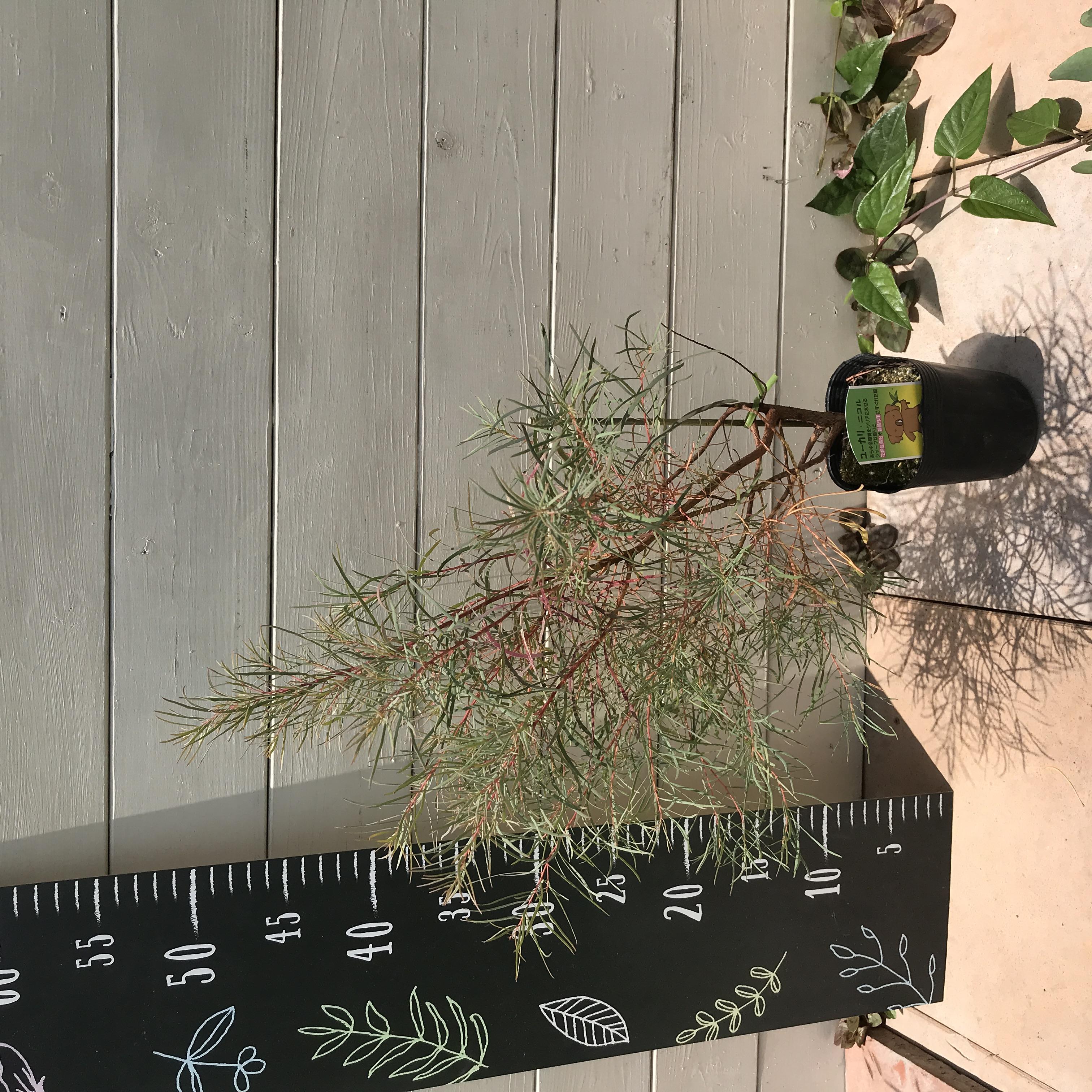 選べる!ユーカリ 苗木 品種 2株 - 5