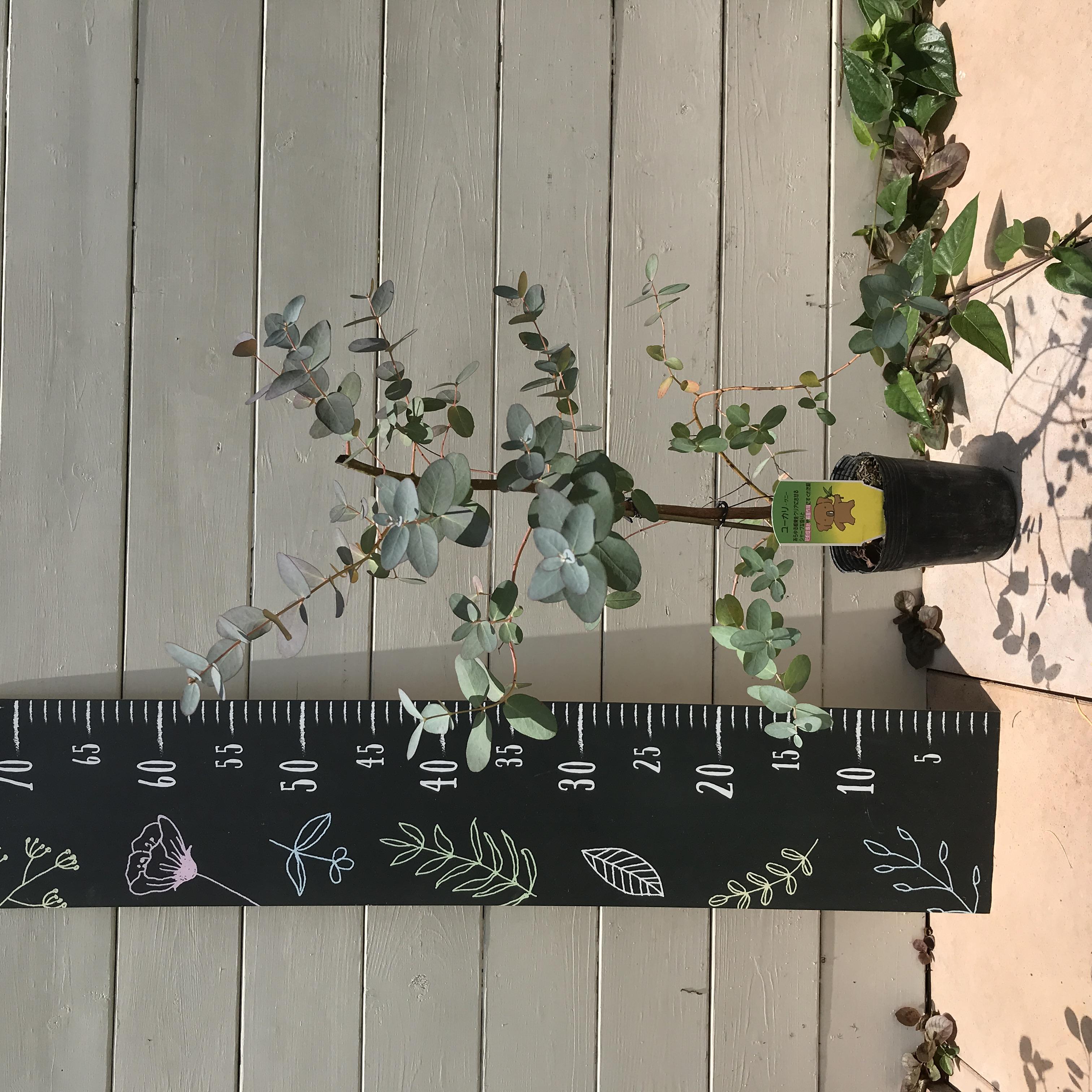 選べる!ユーカリ 苗木 品種 2株 - 7