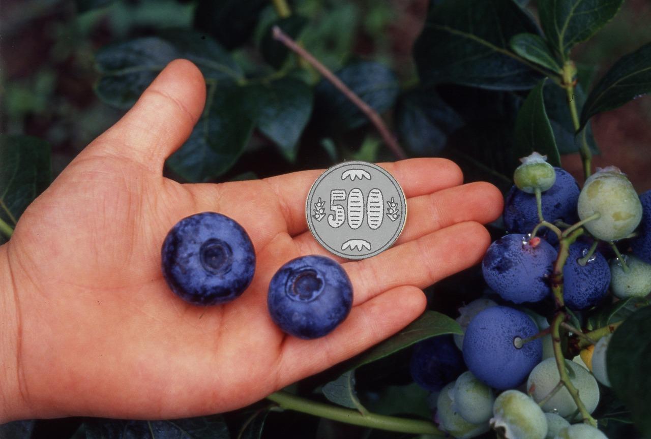 超大実ブルーベリー ハイブッシュ系苗 2種2株 - 3