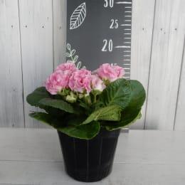 バラ咲き プリムラ ジュリアン いちごのミルフィーユ 4株