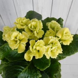 バラ咲き プリムラジュリアン マスカットのジュレ 4株