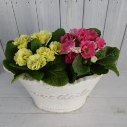 プリムラ ピンク&グリーン 4株
