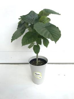 観葉植物 フィカス ウンベラータ 6号鉢