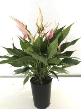 ポットアンスリウム リリー 3.5号鉢 1鉢 観葉植物