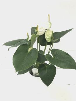 ポットアンスリウム シエラホワイト 6号鉢 1鉢