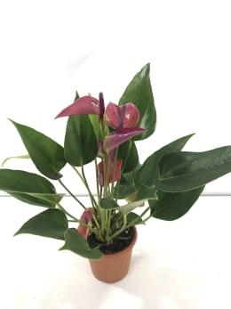 ミニ アンスリウム シラノ 3号鉢 1鉢 観葉植物