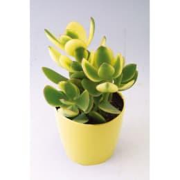 心身ともに豊かになりたい 金のなる木 シンシン 1鉢 観葉植物