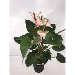 アンスリウム プリンセス アマリア エレガンス 底面給水鉢 6号 観葉植物