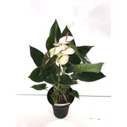 アンスリウム ビューティーホワイト 6号 底面給水鉢 観葉植物