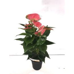 アンスリウム スイートドリーム 底面給水鉢 6号 観葉植物