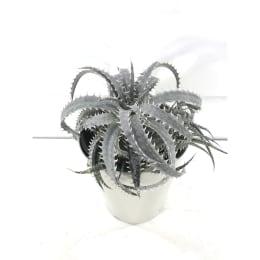 ディッキア グランマルニエ 5号鉢 観葉植物