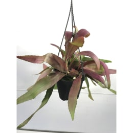 プシュードリプサリス ラムローサ 4号鉢 吊手付 観葉植物