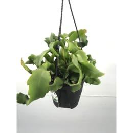 エピフィラム ガテマレンシス 4号鉢吊手付 観葉植物