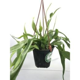 エピフィラム プミラム 4号鉢吊手付 観葉植物