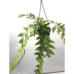エピフィラム クリソカルディウム 4号鉢吊手付 観葉植物