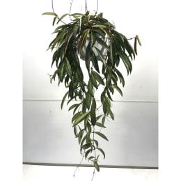 ホヤ ロンギフォーリア(チャイナビーン) 5号鉢吊手付 観葉植物