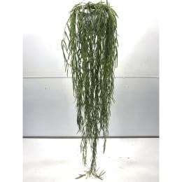 ホヤ リネアリス 5号鉢吊手付 観葉植物