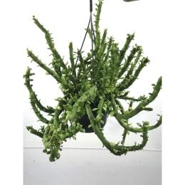 モナデニューム エレンベッキー 5号鉢吊手付 観葉植物