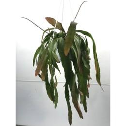 プシュードリプサリス ラムローサ 5号鉢 吊手付 観葉植物
