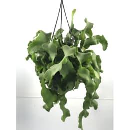 エピフィラム ガテマレンシス 5号鉢吊手付 観葉植物