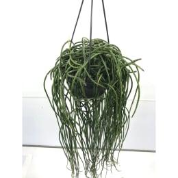 リプサリス プニセオディスカス 5号鉢吊手付 観葉植物