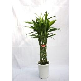 ドラセナ サンデリアーナゴールド 7号鉢 編込み 1鉢 観葉植物