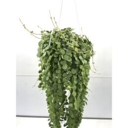 多肉植物 ディスキディア ヌンムラリア 5号鉢 吊手付 1鉢 観葉植物