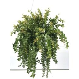 観葉・多肉植物 ディスキディア ルスキフォーリア (ミリオンハート) 5号鉢 吊手付 1鉢