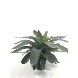 フリーセア ノバ 4号育成鉢 1鉢 観葉植物