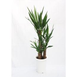 ユッカ エレファンティペス (青年の樹) 7号鉢 1鉢