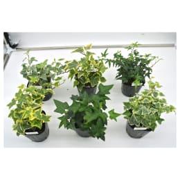観葉植物 ヘデラ へリックス 6品種セット 3号育成ポット 6ポット