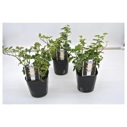 観葉植物 ヘデラ へリックス ハレーボブ 3号育成ポット 3株セット