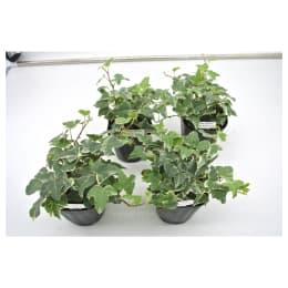 観葉植物 ヘデラ へリックス グレイシャー 3号育成ポット 4ポット