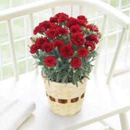 【今ならマスク1枚プレゼント付】母の日 カーネーション鉢植え 赤/レッド 5号鉢 1鉢