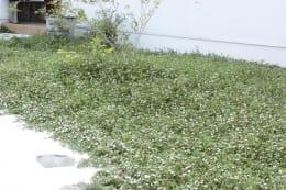 花咲くグランドカバー ヒメイワダレソウ 6枚セット