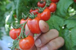甘ーくとろけるトマト つやぷるん 苗2株