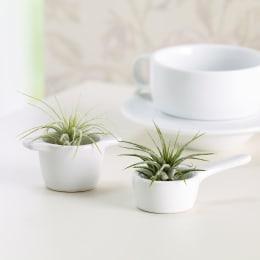 キッチンエアプランツ 観葉植物