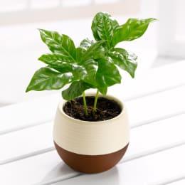 コーヒーの木 ハッピーポット 1鉢 観葉植物