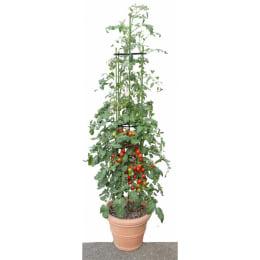 ミニトマト シュガープラム 苗1株