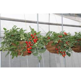 たくさん収穫!そのまんまdeミニトマト 種子