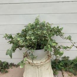 【訳あり】おまかせヘデラ 6号 1鉢 観葉植物
