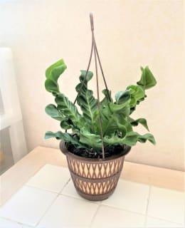 観葉植物 アスプレニウム コブラ 吊手付 5号鉢 1鉢