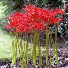 赤花リコリス ラジアータ 球根10球